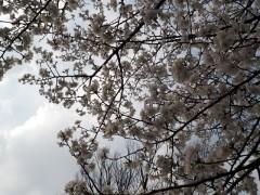 大刀洗公園の桜 2018年